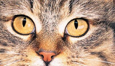 Vaccination du chat