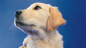 Généralités sur le chien